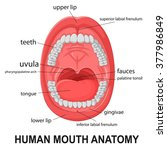 human mouth anatomy  open mouth ...   Shutterstock .eps vector #377986849