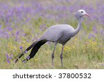 Blue Crane Bird In South...