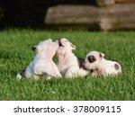 English Bulldog Puppies Playin...