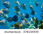 Small photo of school of Blue tang acanthurus coeruleus fish swimming on coral reef