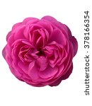 Pink English Rose Isolated On...