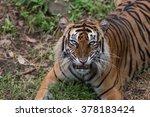 bad temperament of sumatran... | Shutterstock . vector #378183424