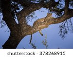 African Leopard In Tree In The...