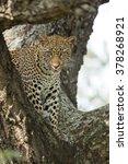 African Leopard Standing In...