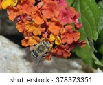 Small photo of White-banded Digger Bee - Amegilla albigena Feeding on flowers