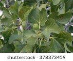 fig tree   ficus carica leaves