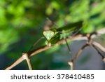 praying mantis female on green