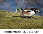 Small photo of American Wigeon Feasting on the First Grass of Spring