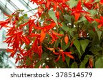 red begonia blossom  close up  | Shutterstock . vector #378514579