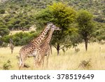 Giraffes In The Wild  Two...