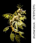 Small photo of The leafy seadragon, Phycodurus eques against black bacground