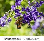 A Dainty Monarch Butterfly ...
