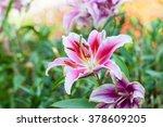 Zephyranthes Flower. Common...