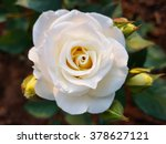 Stock photo white rose flower with green leaves in the garden 378627121
