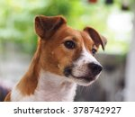 Happy Active Young Jack Russel...