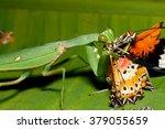 Praying Mantis Eating Butterfly