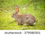 Alert Cottontail Rabbit ...