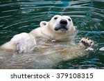 Polar Bear Swims