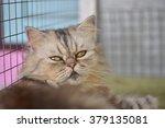 persian cat in thailand. | Shutterstock . vector #379135081