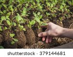 Farmer Planting Young Seedling...