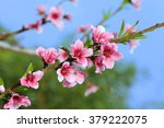 Blossoming Peach. Branch With...