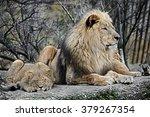 Lion And Lion Cub. Latin Name ...