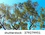 Small photo of Acacia confusa