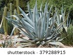 Small photo of Big Agave Americana (American aloe) plant