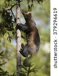Small photo of Wolverine (Glutton) climbing on a tree