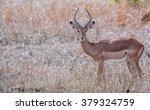 Male Impala Antelope  Kruger...