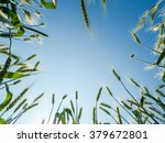 barley seeds in the farm field...   Shutterstock . vector #379672801