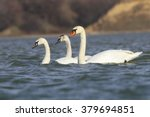 Mute Swan On Blue River  Cygnu...