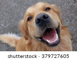 Dog  Golden Retriever  Having ...