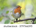 red bird robin sitting on tree... | Shutterstock . vector #379766395