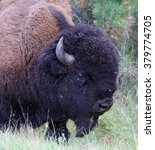 Small photo of American buffalo portrait