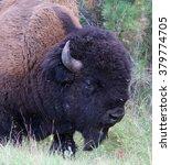 Small photo of American buffalo portrait