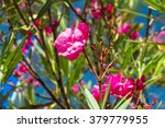 Pink Flowers On A Bush On A...