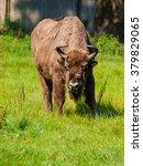 Endangered European Wood Bison...