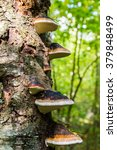 Polypore On A Birch Trunk In...