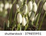 beautiful bouquet of snowdrops... | Shutterstock . vector #379855951