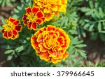 French Marigolds Flower
