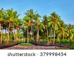 Coconut Tree With Fruits...
