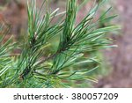 Needles Of Pine
