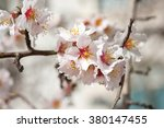 Blossoming Almond Flowers In...