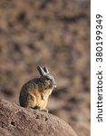 Small photo of viscacha