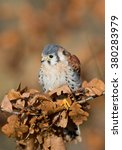 Small photo of American kestrel perching, with dead leaves, clean background, Czech republic, Europe