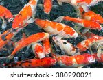 Colorful Koi Fish In The Pond...