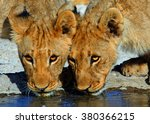 Close Up Of 2 Lion Cubs...