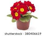 Red Spring Primroses Flowers ...