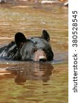 Small photo of American black bear (Ursus americanus) swimming in the water